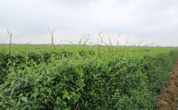 Xu hướng phát triển vùng trồng dược liệu sạch ở Việt Nam